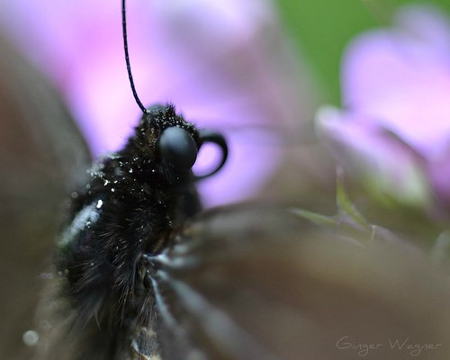 butterfly, asleep on phlox