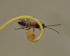 Ichneumon Wasp (Diplazon laetatorius) (marmendy mill) Tags: macro bug insect photo nikon wasp ichneumon essex soe hymenoptera westcliffonsea diplazon laetatorius
