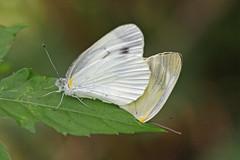 瀬上市民の森のモンシロチョウ(Butterfly, Segami Community Woods)