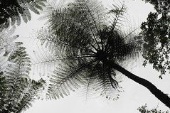 Bali - am Nungnung-Wasserfall (37) unter Baumfarn (dendroaspis2008) Tags: trees bali tree indonesia rboles boom arbres rbol albero bume arbre rvore baum trd indonesien aa   baumfarn