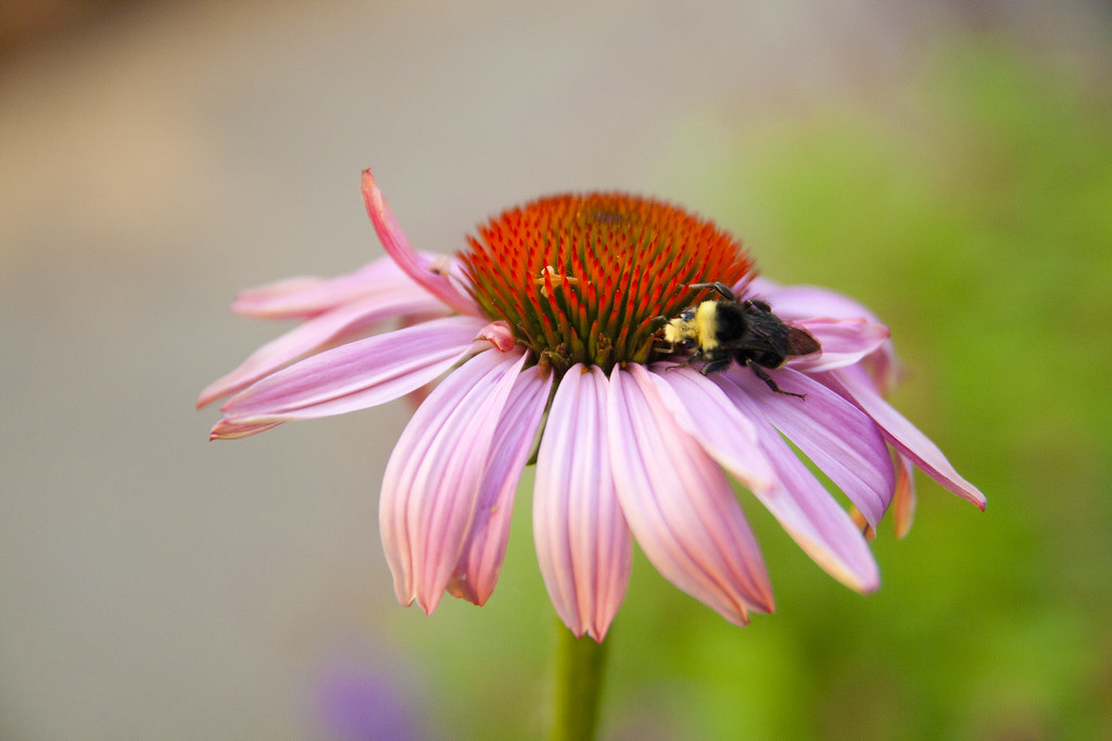 Bumble on Echinacea