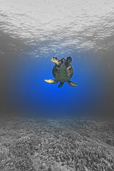 spotlighted (bluewavechris) Tags: ocean life sea nature water animal swim photoshop hawaii marine underwater snorkel turtle reptile wildlife dive shell maui creature effect flipper