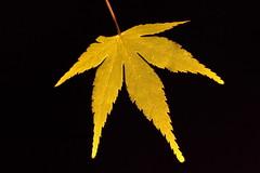 Thanks!!! ( Spice (^_^)) Tags: black colour macro japan backlight canon eos golden leaf asia 7d  backlit mapleleaves