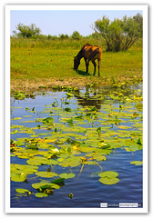 Wild Horse (Lst1984) Tags: wild horse water ro river caballo delta press danube aegee rumania lilys nenuphar nenfares danubio salvaje romnia canoneos40d lsarabia lst1984 luissarabia crian