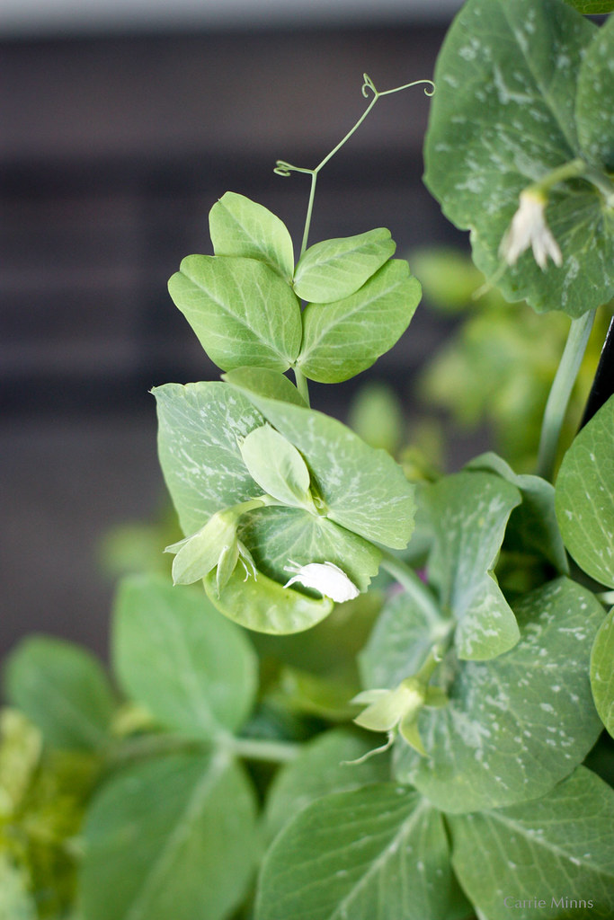 A simple snow pea vine.