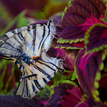 Butterflies in love thumbnail