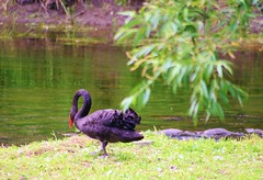 Looking For A Friend... (bigbrowneyez) Tags: trees red black green nature water beauty leaves reflections river rocks sweet gorgeous branches lonely lovely blackswan rideauriver lookingforafriend
