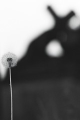 Dandelion and Christ carrying the cross (Carsten aus Bonn) Tags: minolta ilford 32 rokkor x300s dp400