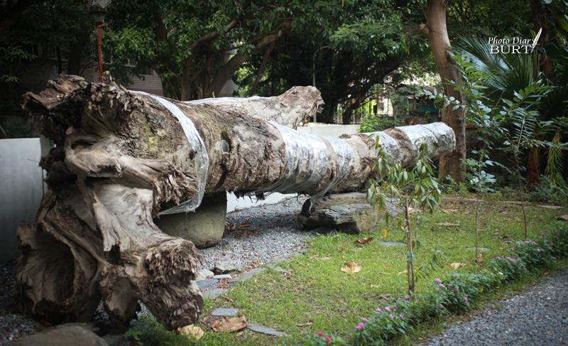 青田76  被挖出來的,埋在松山層的老樹