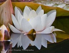 Water Lilly (Muzammil (Moz)) Tags: uk london moz waterlilly muzammilhussain stunningphotogpin