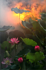 Surreal Lotus Flower - IMG_1247-1-800 (Bahman Farzad) Tags: flower macro yoga fog peace lotus relaxing peaceful meditation therapy lotusflower lotuspetal lotuspetals lotusflowerpetals lotusflowerpetal