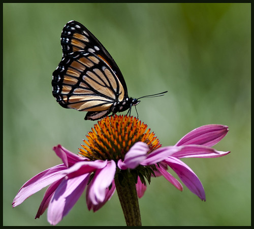 Monarch on cone flower 1 by Jen St. Louis