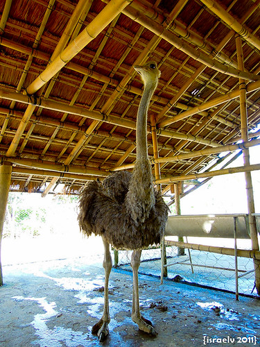 Ostrich by israelv