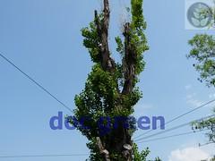 Populus nigra in Caio Mario Park