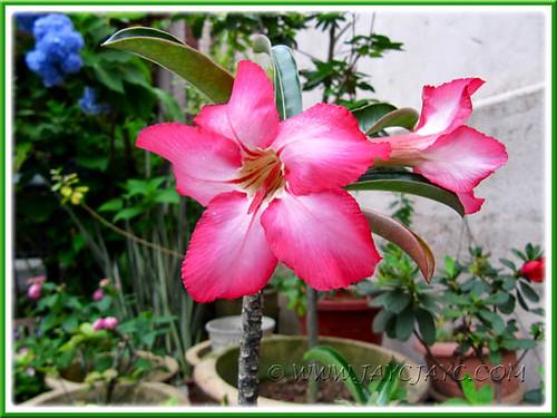 Our potted Adenium obesum (Desert Rose, Mock Azalea, Impala Lily), July 13 2011