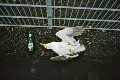 Iceland - Gull Beer (deepstoat) Tags: film beer 35mm dead iceland gull reykjavik corpse juxtaposition contaxt3 kodakportra400nc