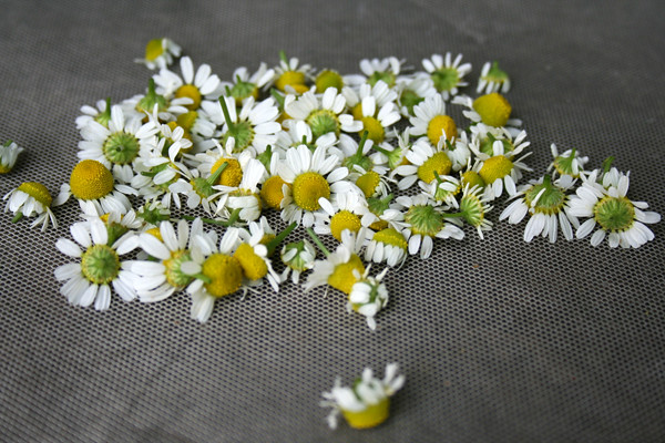 drying_chamomile