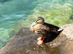 Sunbathing (OlivieroToscaniDeiPoveri) Tags: sun lake green bird sol nature wet rock switzerland soleil duck estate suisse lac natura sunbath agosto sole svizzera acqua ginevra animali animale reale watcher montreux uccello germano anatra scoglio ginevre