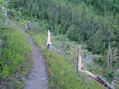 Snapped trees slope on Crystal Peak trail.
