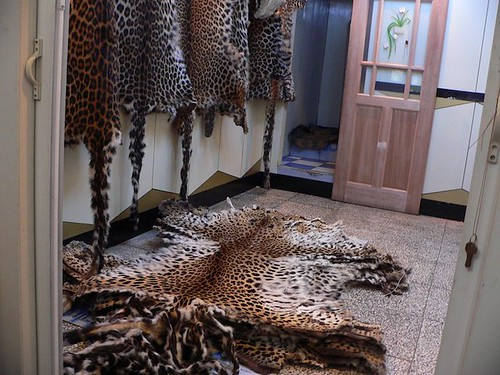 Whole leopard skins stacked up on sale in a shop in Linxia, Gansu Province, China, August 2005.