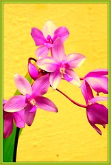 Phalaenopsis Orchid (shari kadirur) Tags: flowers nature beautiful photography flora kerala inflorescence wonderfulworld flickraward flickriver malayalikkoottam  flickraward