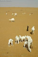 Camels Life - Explore (TARIQ-M) Tags: texture landscape sand waves desert dunes hashi camel camels riyadh saudiarabia sponsor بر الصحراء جمال الرياض راعي صحراء رمال جمل ابل رمل طعس كانون نياق المملكةالعربيةالسعودية canon400d الرمل ناقة خطوط صحاري نفود الرمال كثبان براري تموجات canonefs18200mmf3556is تموج نفد حواشي