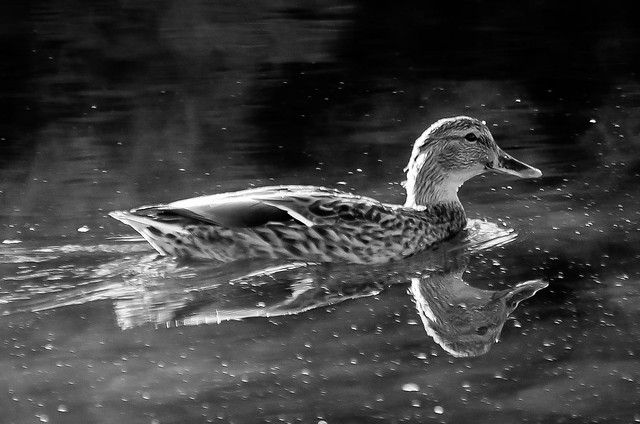B&W Female Mallard reflection