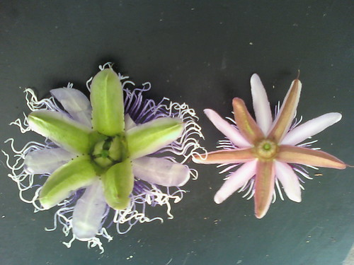 some of my passiflora - Page 2 6201935962_99f67a4b0e