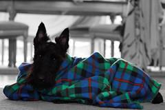 dog black puppy fluffy whisky scottie scottishterrier