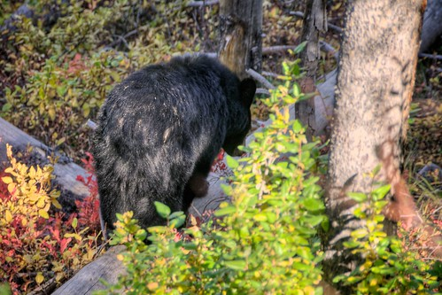 Black Bear on Signal Mountain