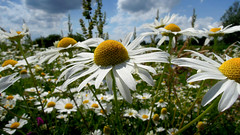 Kamille (grmpf!) Tags: flower kamille usedom chamomile
