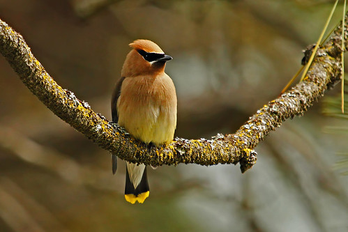 Waxwing in the Pines