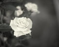 Rose. (kaneko_ryo) Tags: white flower rose japan canon bokeh hiroshima 花 薔薇 白 5dmarkii eos5dmarkⅱ
