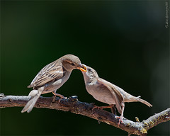 _DSC7936 (Lino Sgaravizzi ) Tags: birds fauna ngc natura uccelli passero valtiberina d3x mygearandme mygearandmepremium mygearandmebronze mygearandmesilver mygearandmegold mygearandmeplatinum mygearandmediamond