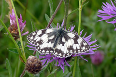 Marbled White (melanargia galathea) (celerycelery) Tags: uk brown macro nature butterfly insect wildlife butterflies insects lepidoptera marbled melanargiagalathea marbledwhite ukspecies