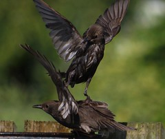 Two Young Starlings Argue Over Bath (aaron_nikon_photography) Tags: blue summer green nature water fence wednesday garden lunch fly inflight fight bath afternoon bokeh wildlife seagull air flight azure july bluesky starling greenery midair housesparrow bathtime wingspan starlings melee gardenbirds gardenwildlife wingspread