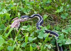 "Tacco Cott - garder snake grabs frog • <a style=""font-size:0.8em;"" href=""http://www.flickr.com/photos/30765416@N06/5910419086/"" target=""_blank"">View on Flickr</a>"