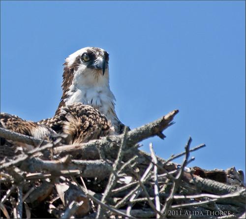 Osprey, Heckscher State Park by Alida's Photos