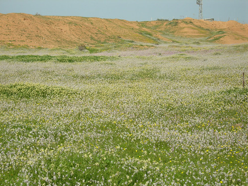 Desert_Wildlfowers_S_of_Urim_IL_2007_02_17_002.jpg