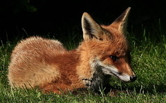RED FOX (SNAPDECISIONS !) Tags: animals fox wildanimals redfox snapdecisions animalsoftheworld photosofwildanimals imagesofwildanimals animalsfoundinthebritishisles animalsoftheuk buyimagesofwildanimals theworldofwildanimals peregrino27life