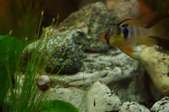 fish aquarium rocks tank dwarf snail ram cichlid planted project365 hairgrass
