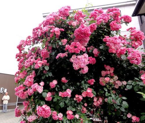 blog-110715-ROSEScorgis1