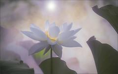 Lotus Flower - IMG_8549-b (Bahman Farzad) Tags: flower macro yoga peace lotus relaxing peaceful meditation therapy lotusflower lotuspetal lotuspetals lotusflowerpetals lotusflowerpetal