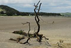 driftwood Llansteffan (o'casieg) Tags: beach driftwood