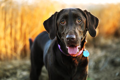 twenty-one. (anthonyhelton.com) Tags: lab labrador chocolate retriever mansbestfriend 70200f4l 5dii