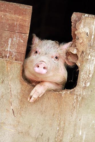 Honeybrook Farm - Piglet