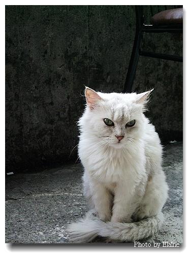 名叫咪咪的白貓