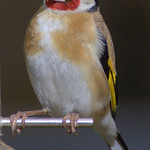 Greedy Goldfinch