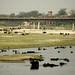 Milhares de bufalos se refrescando no rio de Agra