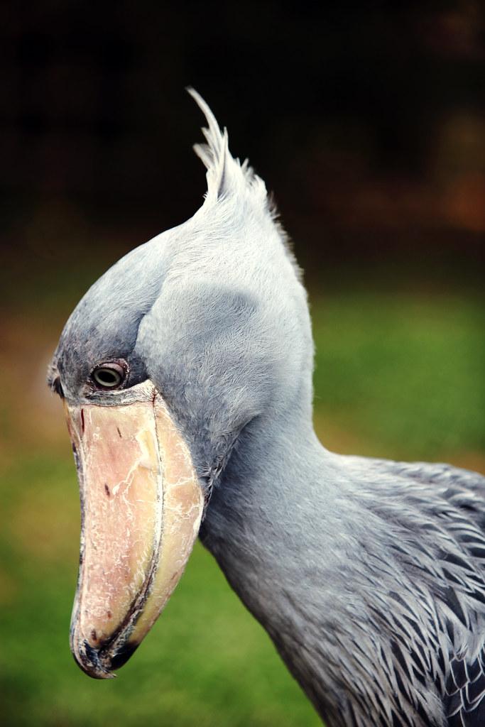[フリー画像] 動物, 鳥類, ハシビロコウ, 201107170700